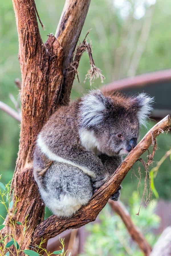 考拉是一只迷人的有袋动物的哺乳动物 图库摄影