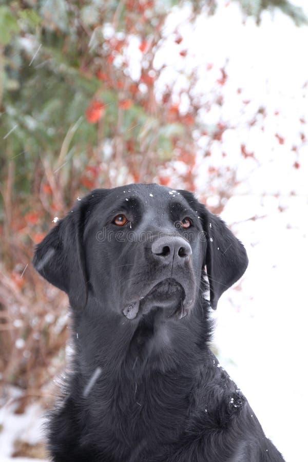 耐心地坐黑的拉布拉多猎犬 库存照片
