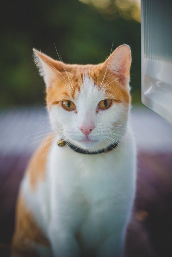 耐心地等注意的猫 免版税库存照片