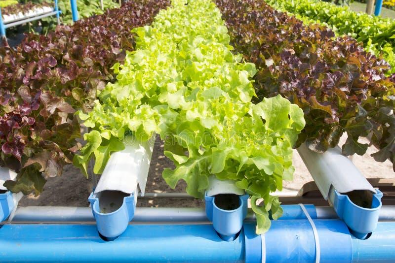 水耕的菜园 免版税图库摄影