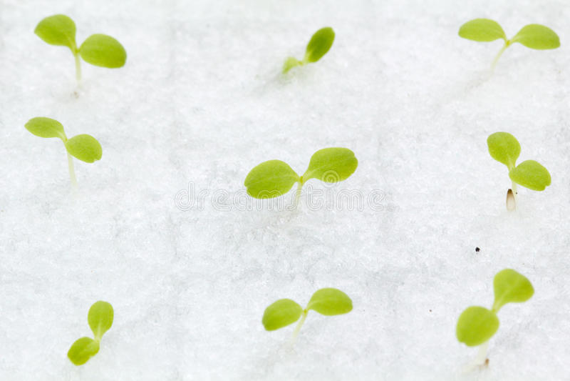 水耕的菜新芽 图库摄影