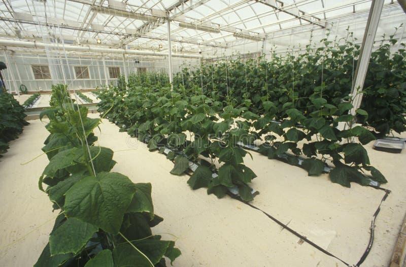 水耕的莴苣种田在EPCOT中心的, FL 免版税图库摄影