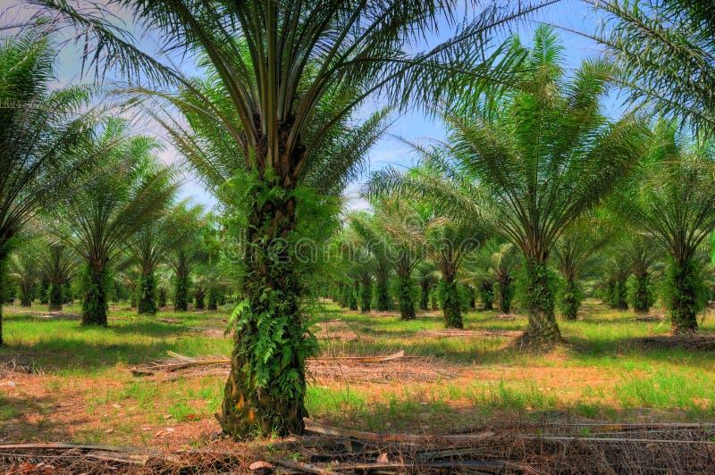 耕种油棕榈树 免版税库存图片