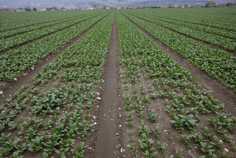 耕种菠菜 库存照片