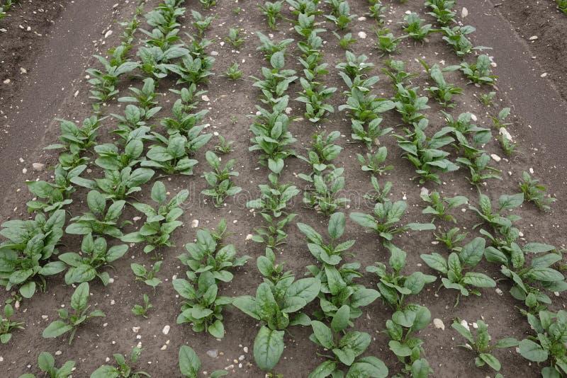 耕种菠菜 库存图片