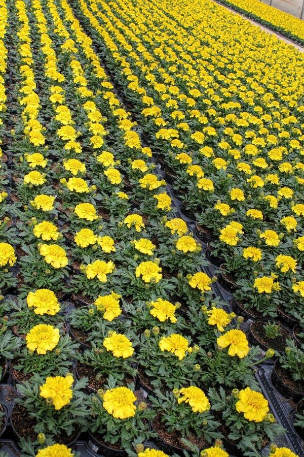 耕种黄色tagete 库存照片