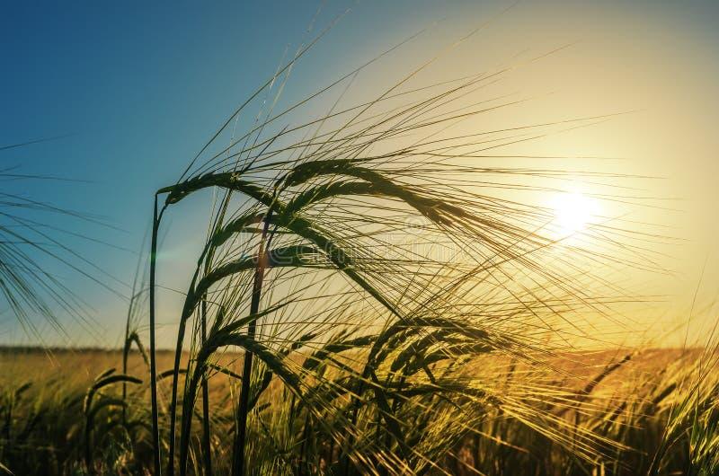 耳朵关闭麦子在领域 农业在日落的绿草领域 库存图片