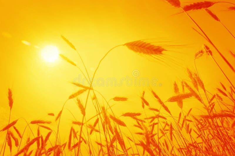 耳朵朝阳麦子 免版税库存照片
