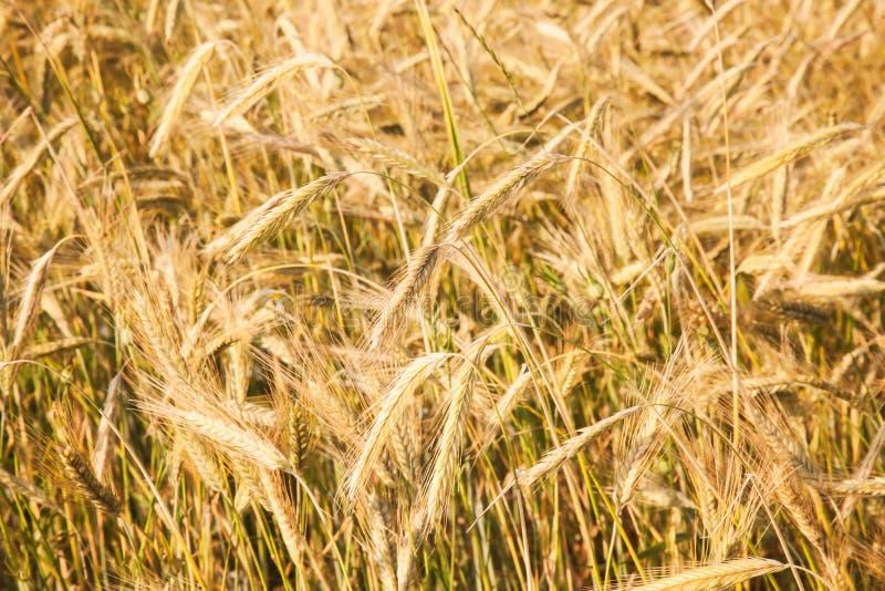 耳朵特写镜头照片,黑麦的领域 库存图片