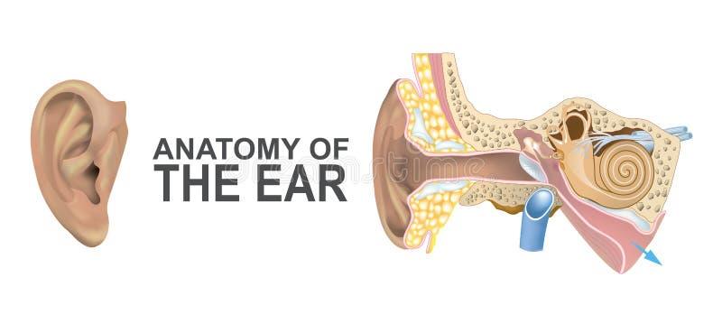 耳朵的解剖学 库存例证