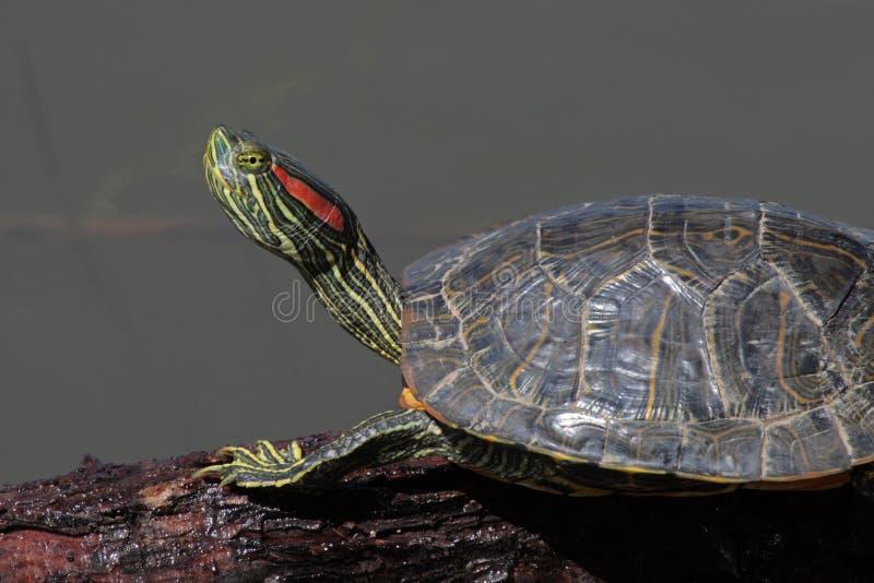 耳朵红色滑子水龟 免版税库存照片