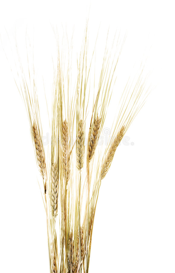耳朵麦子白色 库存图片