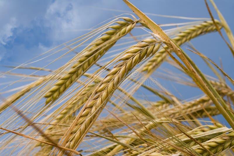 耳朵麦子 免版税库存图片