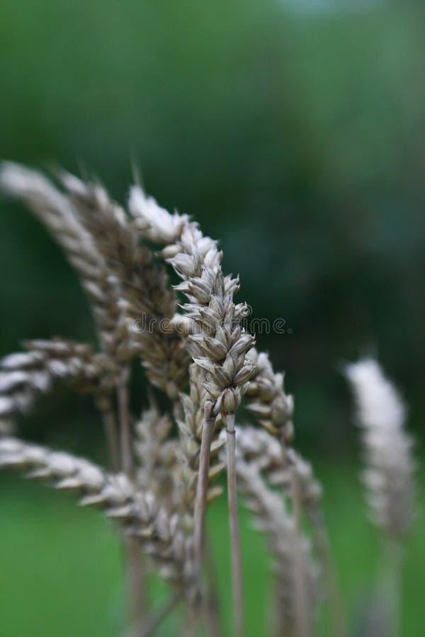 Download 耳朵黑麦 库存图片. 图片 包括有 庄稼, 秸杆, 农场, 玉米, 健康, 金黄, 工厂, 种田, 黄色 - 22358877