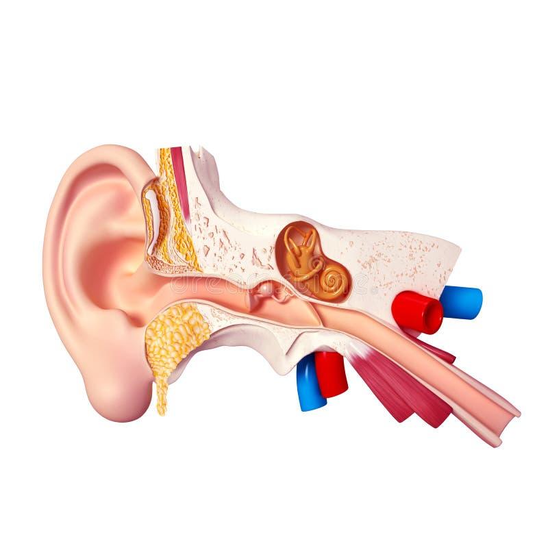 耳朵 库存例证