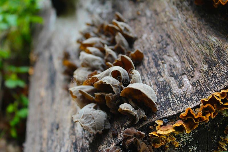 耳状幼虫耳状报春花judae,叫作犹太人的耳朵,木耳朵,在蜂房的果冻耳朵,可食的蘑菇,宏观摄影 免版税库存照片
