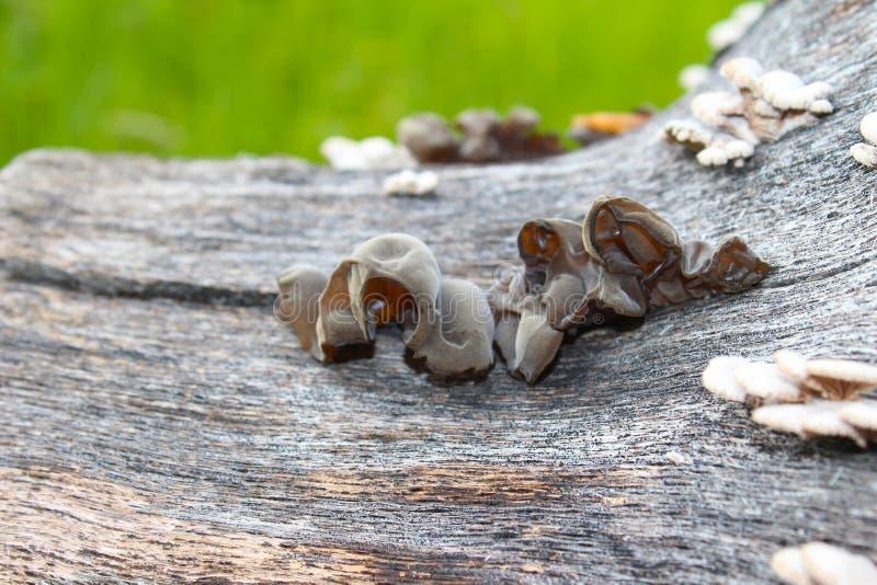 耳状幼虫耳状报春花judae,叫作犹太人的耳朵,木耳朵,在蜂房的果冻耳朵,可食的蘑菇,宏观摄影 图库摄影