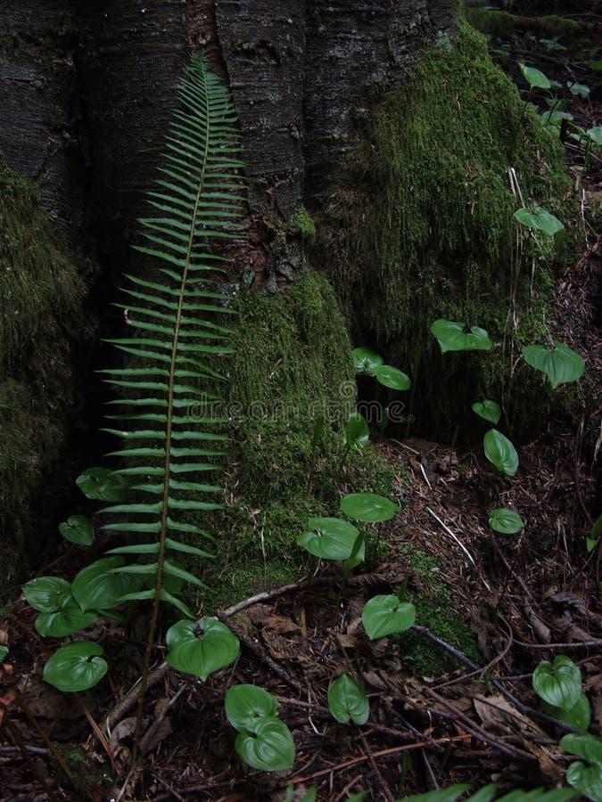 耳蕨munitum和平的剑蕨 免版税库存照片