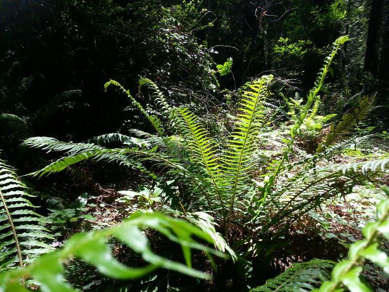 耳蕨munitum 库存图片
