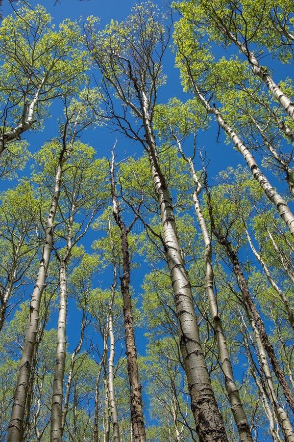 耸立的亚斯本树在一个森林里在新墨西哥 免版税库存照片