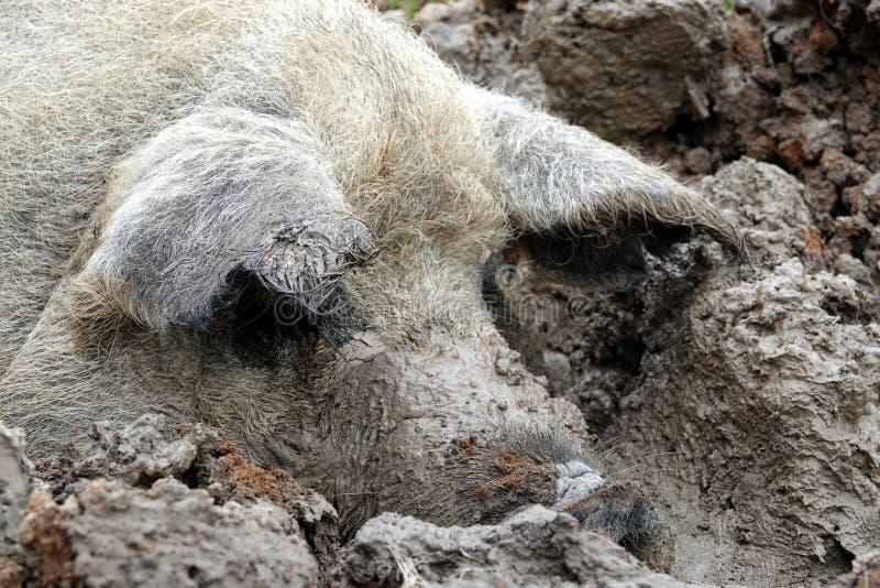 耽溺于在泥的猪头 免版税库存照片
