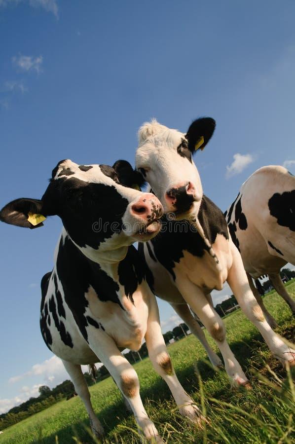聊天的母牛 免版税库存图片