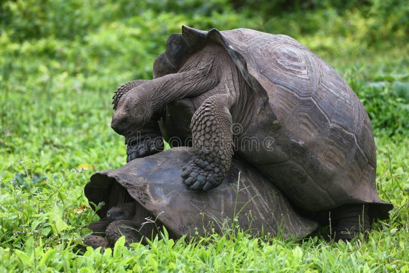 联接加拉帕戈斯的巨型草龟有在圣克鲁斯岛的性 库存照片