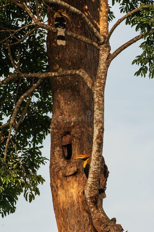 联接在一个大树干的凹陷的巢前面的夫妇伟大的犀鸟 美好的金黄阳光 时数横向季节冬天 免版税库存图片
