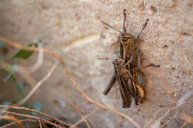 联接在一个石墙上的蚂蚱 图库摄影