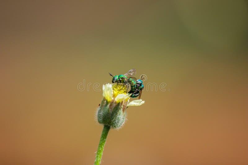 联接在一朵黄色花的飞行特写镜头  绿色飞行联接 图库摄影