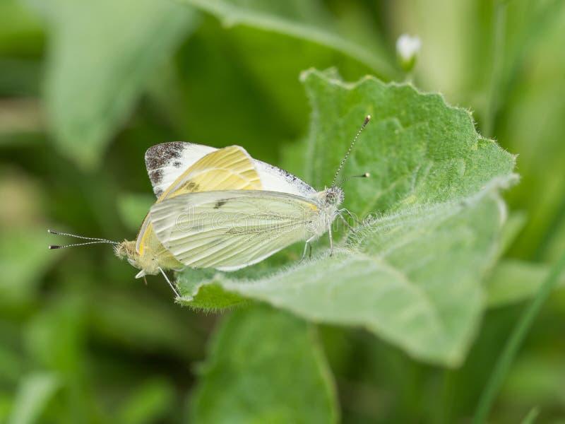 联接在一片绿色叶子的两只白色蝴蝶特写镜头  库存照片
