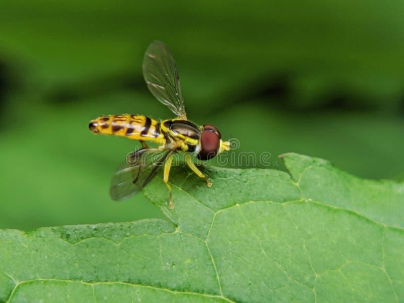 联接在叶子的昆虫 库存图片