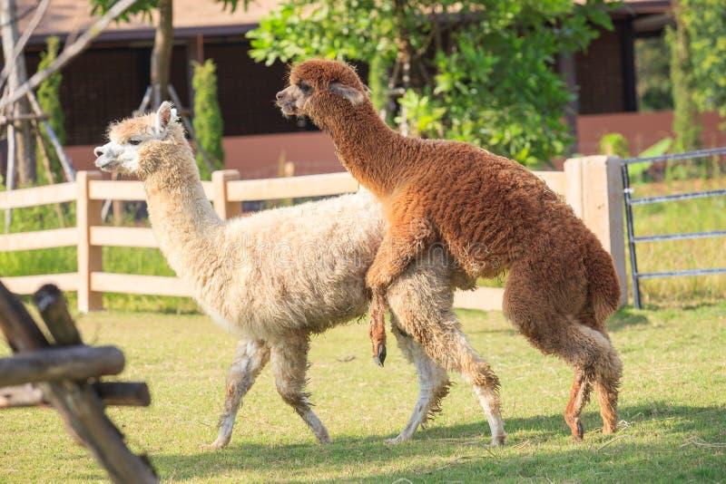 联接在大农场农田的布朗和浅褐色的骆马羊魄 免版税图库摄影