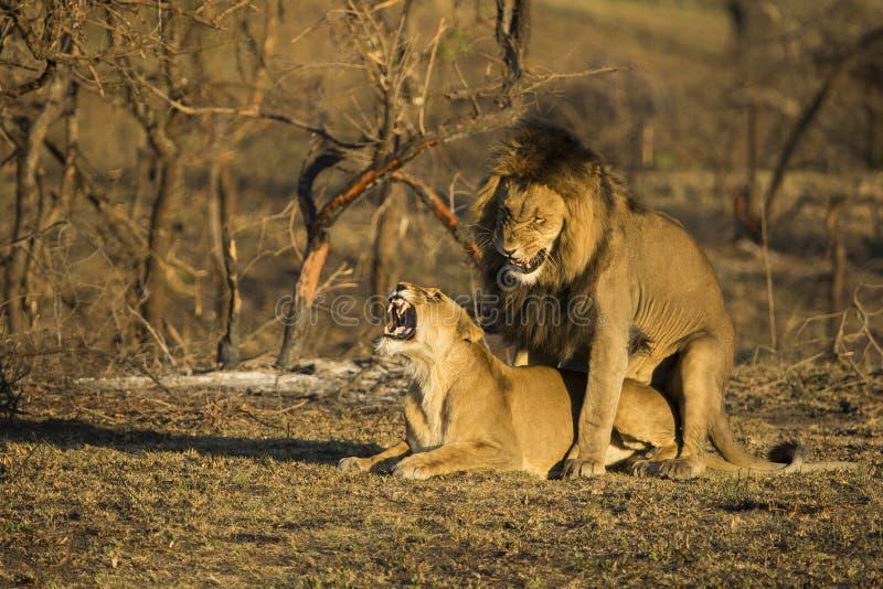 联接在早晨光的狮子 免版税库存图片