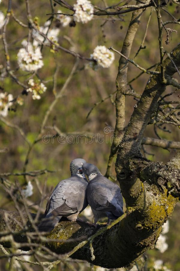 联接在春天的两只鸠 免版税图库摄影