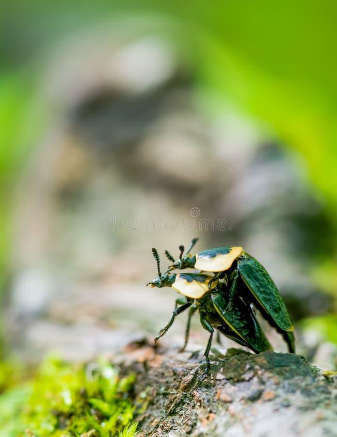 联接在森林地板上的树根的美国腐尸甲虫特写镜头-吠声和绿叶模糊的bokeh -在Porcupi 库存图片