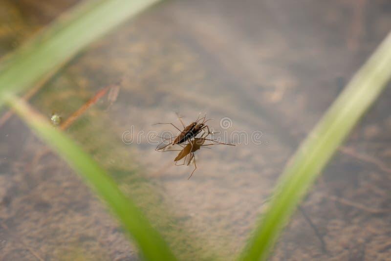 联接在水中的Gerridae 库存图片