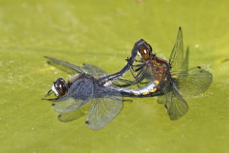 联接在睡莲叶的小点被盯梢的Whiteface蜻蜓 库存照片
