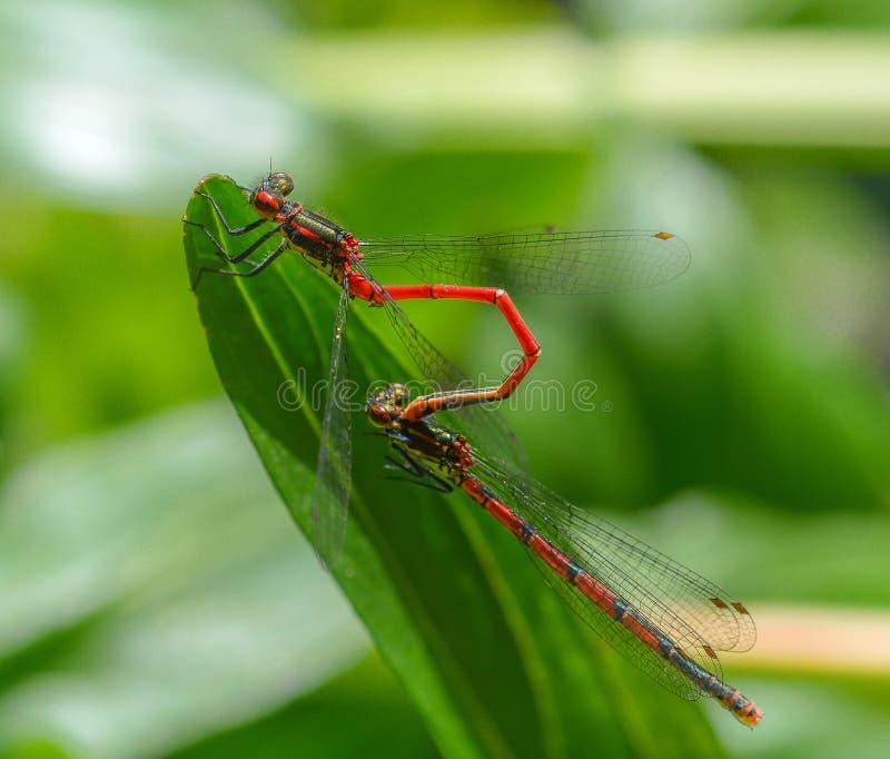 联接在绿色叶子形状t的两只红色蜻蜓昆虫 库存照片