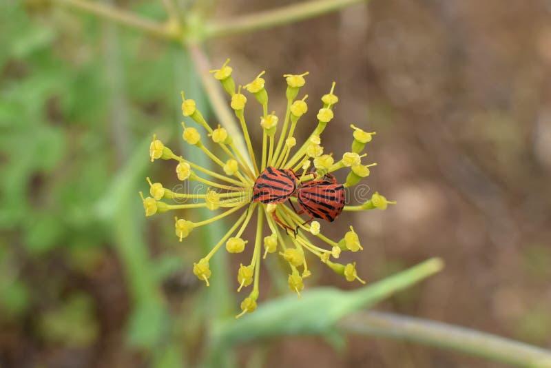 联接在茴香植物花的吟游诗人臭虫 免版税库存照片