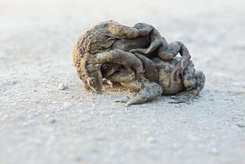 联接在路的三只青蛙 库存图片