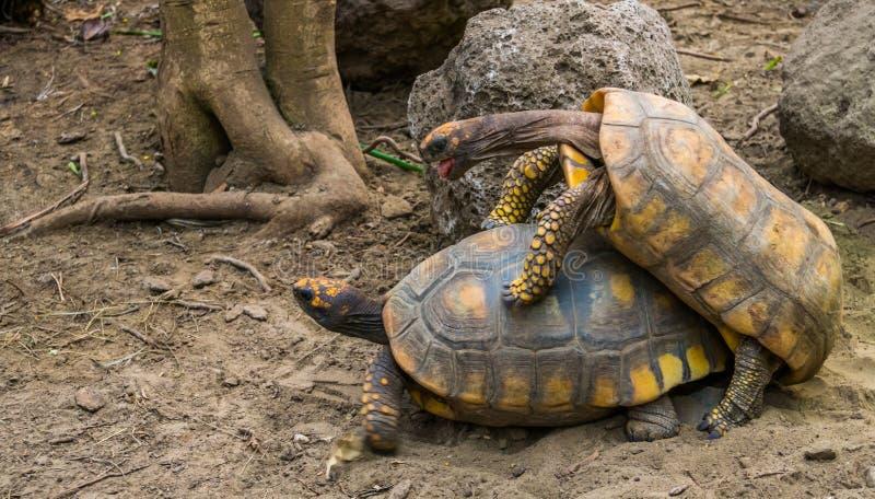 联接在饲养季节,从美国的脆弱的爬行动物硬币期间的黄色有脚的草龟夫妇  免版税库存照片