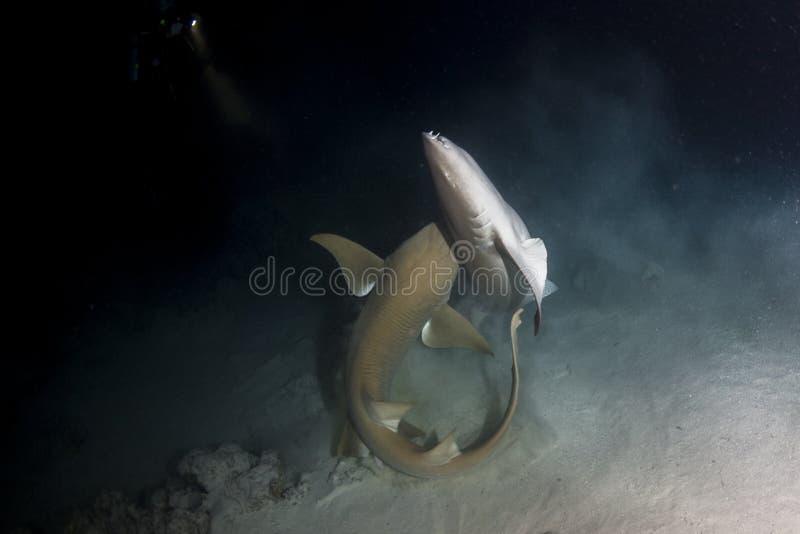 联接在马尔代夫的绞口鲨科 库存照片