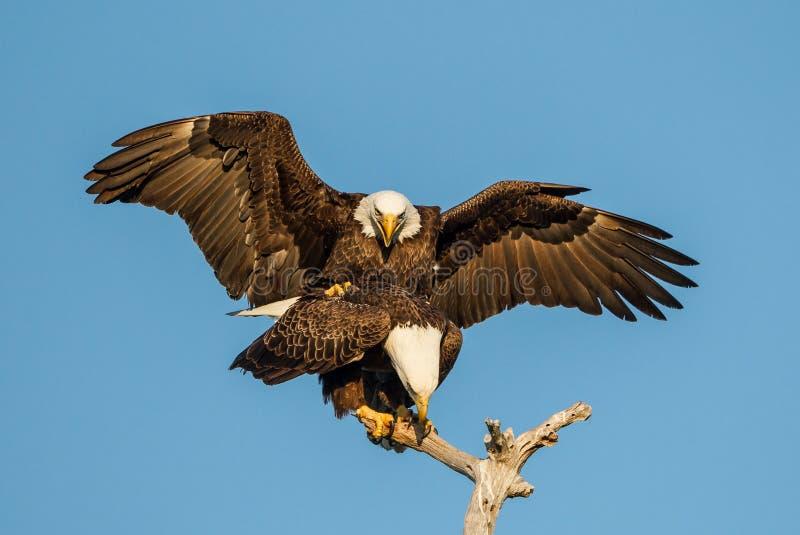 美国白头鹰对联接 图库摄影