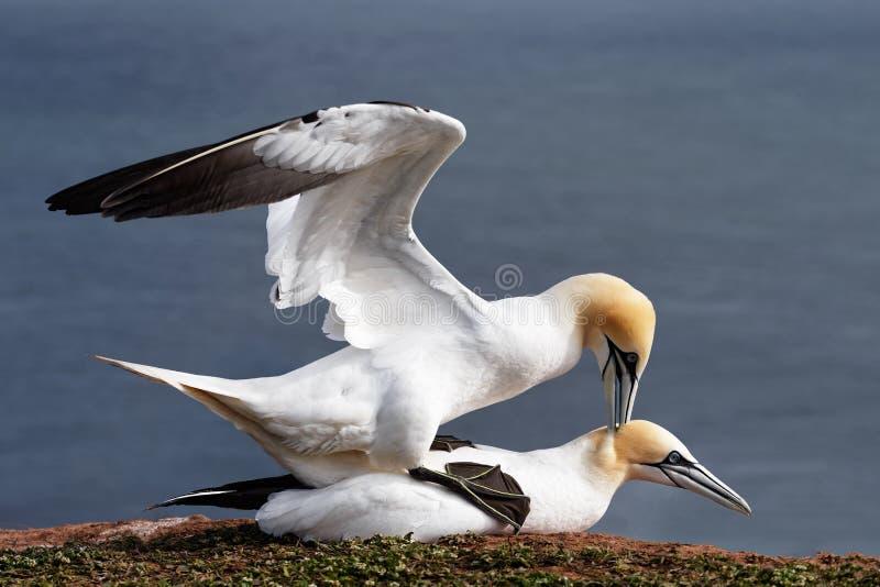 联接在Helgoland峭壁的Gannets  库存图片