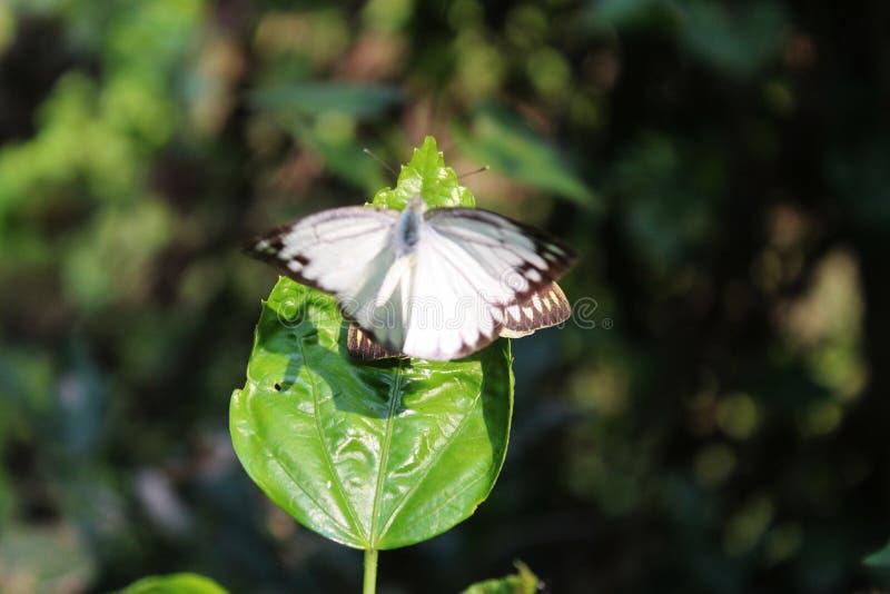 联接本质上的蝴蝶夫妇 被剥离的美丽作早期工作在白色或印度配对本质上的雀跃白色蝴蝶往来 免版税图库摄影