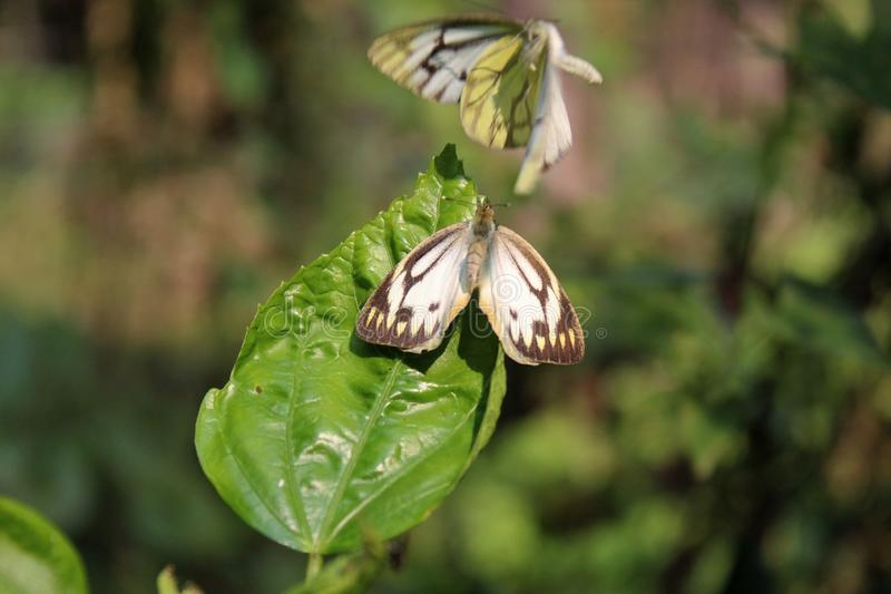联接本质上的蝴蝶夫妇 被剥离的美丽作早期工作在白色或印度配对本质上的雀跃白色蝴蝶往来 免版税库存图片