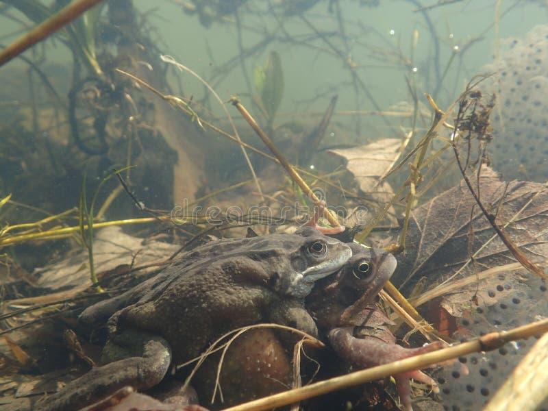 联接欧洲或共同的青蛙,蛙属temporaria,围拢由frogspawn Blackford池塘,爱丁堡 库存照片