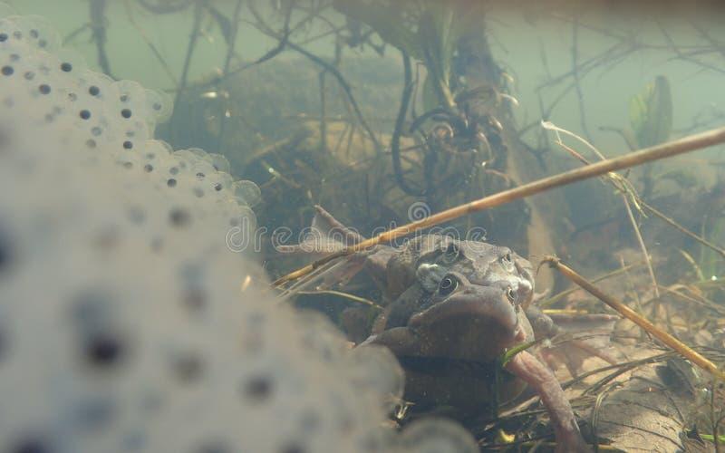 联接欧洲或共同的青蛙,蛙属temporaria,围拢由frogspawn Blackford池塘,爱丁堡 免版税库存照片