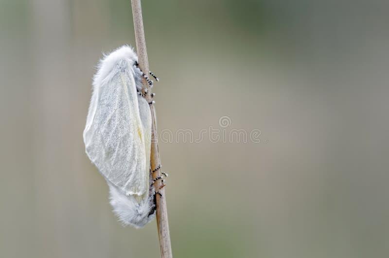 联接白色缎的飞蛾分离 库存图片